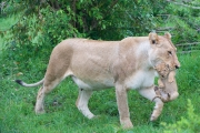 Lioness carrying cub