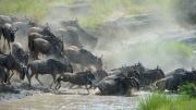 Wildebeeste Miration