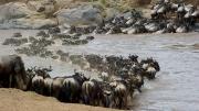 Wildebeeste Migration