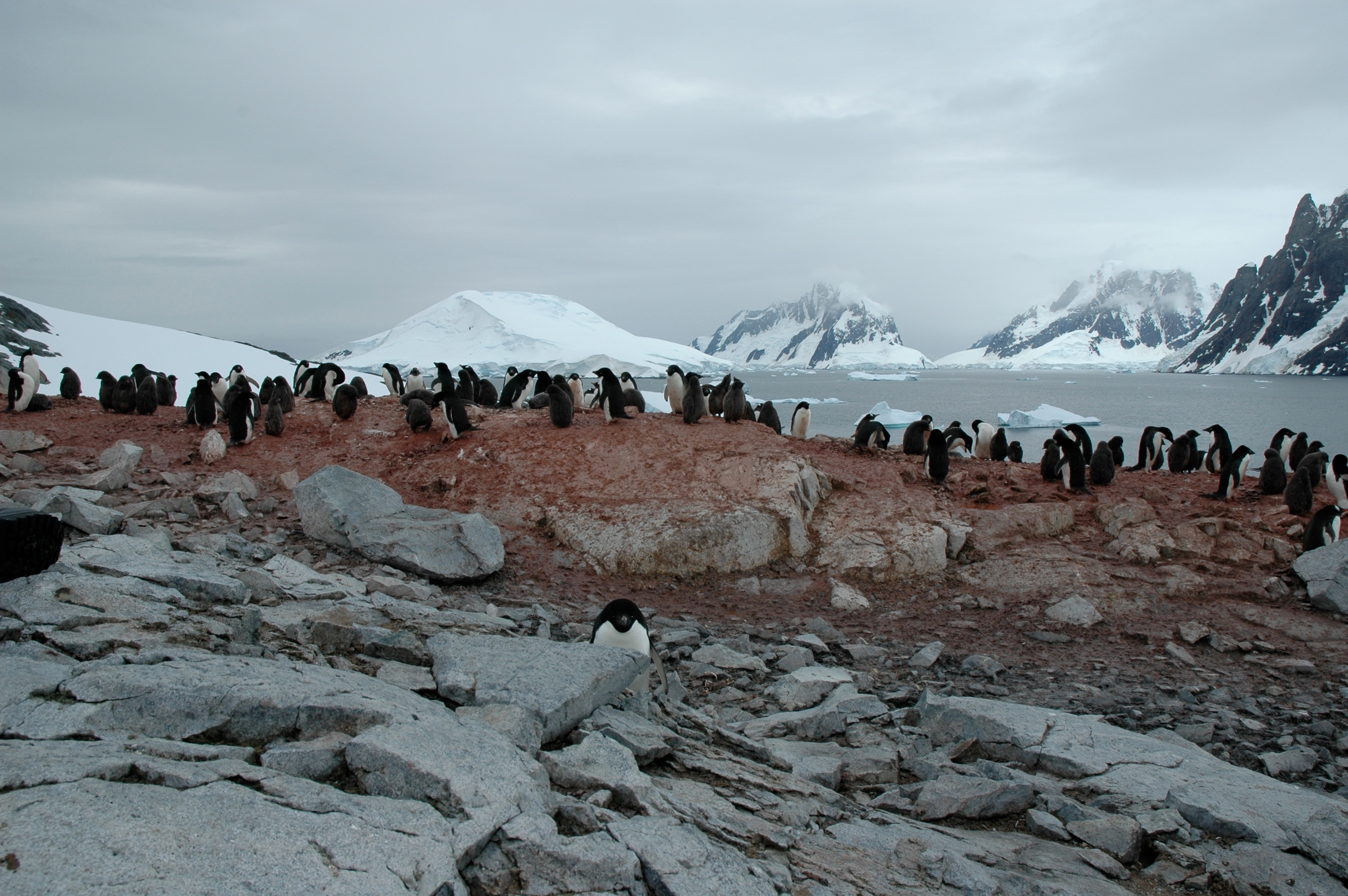 Adelie & Gentoo Penguins