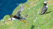Puffin at Hermaness