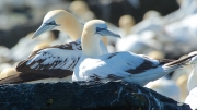 Gannets at Knoss