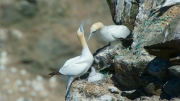 Gannets at Hermaness