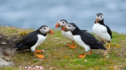 Puffins at Sumburgh Head