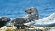 Grey Seal at Lerwick