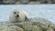 Common Seal at Lerwick