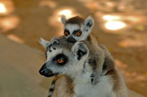 Ring-tailed Lemur, Berenty, Madagascar