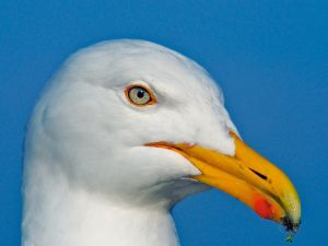 Herring Gull, Whitby, Yorkshire, UK