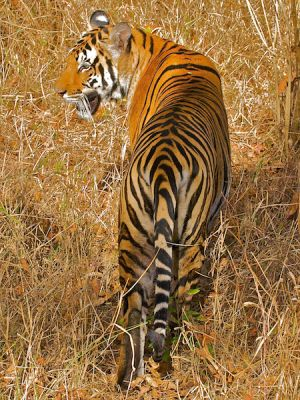 Royal Bengal Tiger, Kanha, India