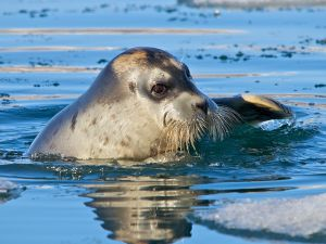 Bearded Seal, Svalbard