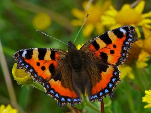 Small Tortoiseshell, Long Eaton Gravel Pits, UK