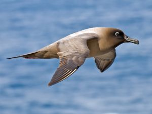 Light-mantled Sooty Albatross, Drakes Passage