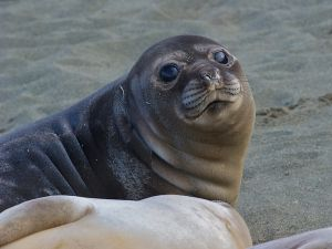 Elephant Seal pup, Macquarie Island, Australia