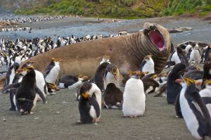Elephant Seal, Macquarie Island, Australia