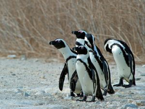 African Penguins, Robben Island, South Africa