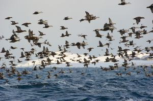 Flock of mixed Eider at Vardo