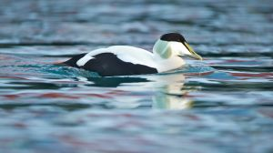Male Common Eider