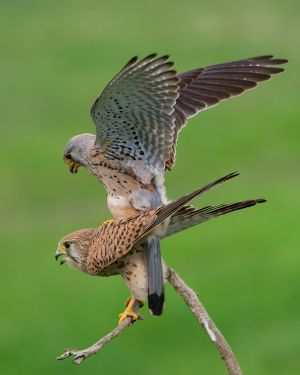 Mating Kestrel