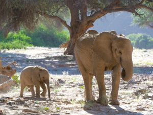 Desrt Elephants of Namibia