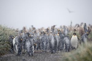 King Penguins in a blizzard