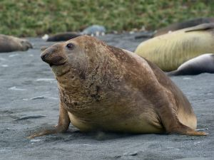 Young male Elephant Seal