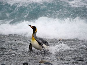 King Penguin landing at Gold Harbour beach