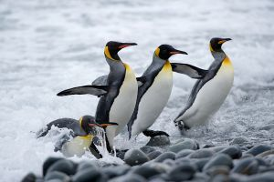 King Penguins landing at Gold Harbour beach
